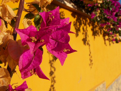 bouganvilla in early morning light