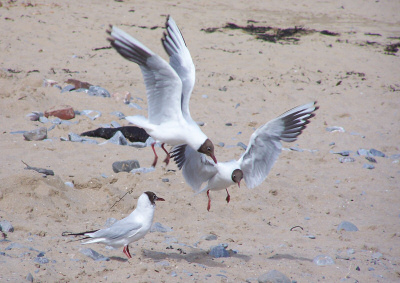 gulls fighting on a beach