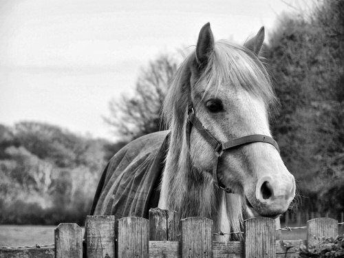 pony in black and white